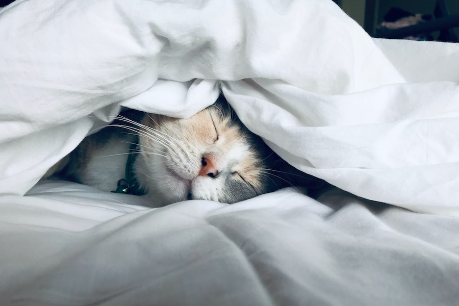 Cat sleeping between bed sheets